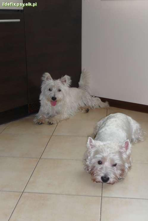 Pies rasy west highland white terrier - z Tofikiem