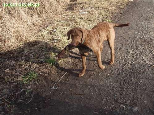 chesapeake bay retriever - aportuję :D