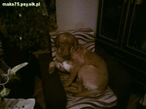 chesapeake bay retriever -