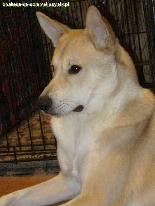 canaan dog - Chakede