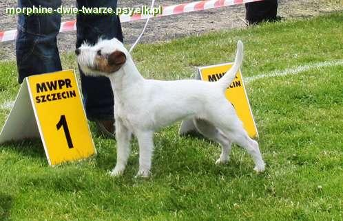 parson Russell terrier -