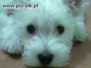 Pies rasy west highland white terrier - Uwaga. Hipnotyzuję !!!