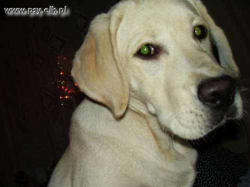 Pies rasy labrador retriever -