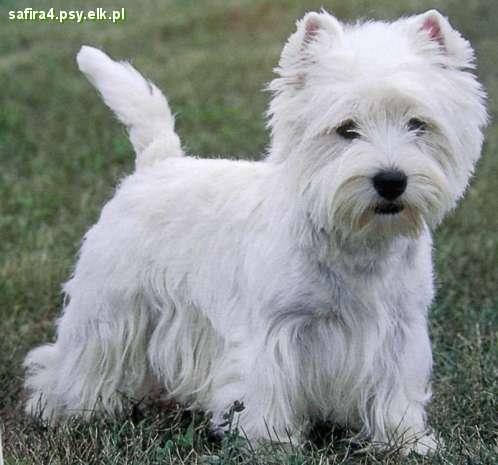 Pies rasy west highland white terrier - a to ja na ogrodzie