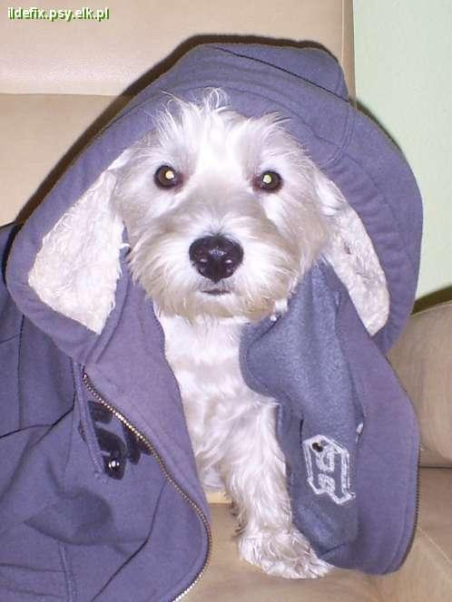 Pies rasy west highland white terrier -