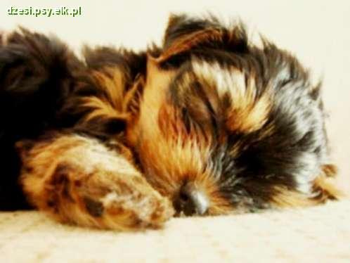 Pies rasy Yorkshire Terrier - Mini Drzemka :)