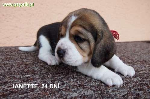 Beagle Puppies with pedigree for sale