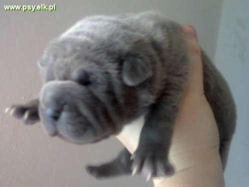 shar pei blue male