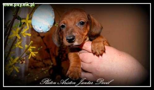 Miniauture Dachshund (short haired) with FCI pedigree