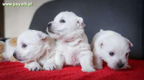 West Highland White Terrier z rodowodem