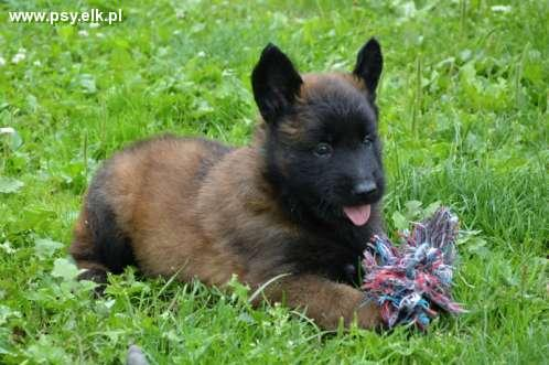 Malinois puppies for sale, 2 females