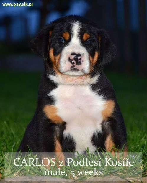 Greater Swiss Mountain Dog – puppies with pedigree
