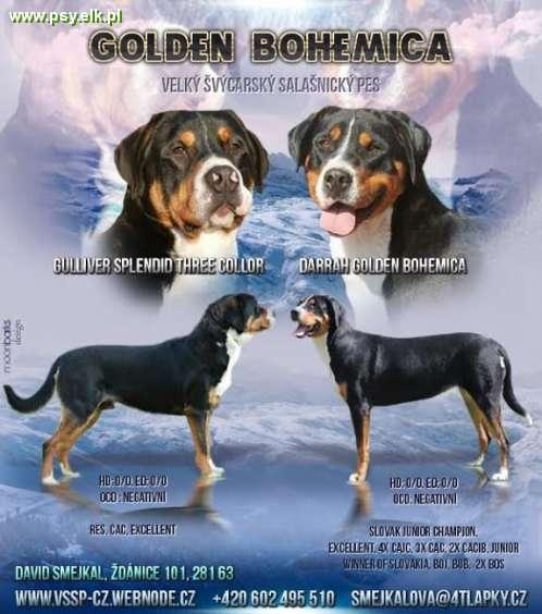 Greater Swiss Mountain Dog - FCI pedigree