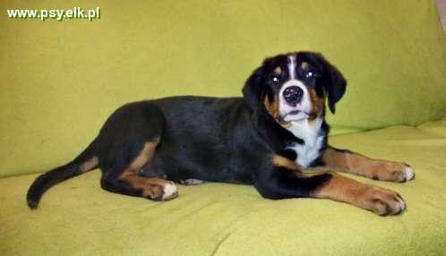 Greater Swiss Mountain Dog puppies with pedigree