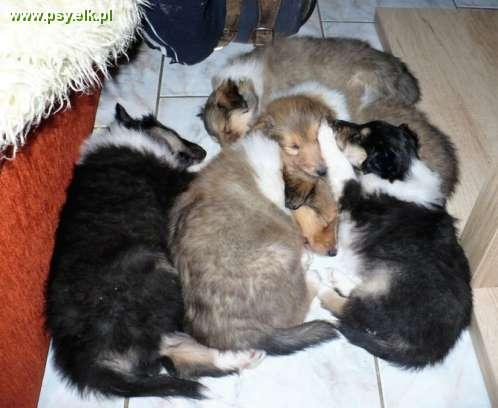 Long haired Collie, gold and tricolor puppies