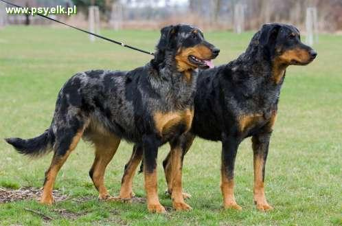 BEAUCERON young females black and tan + harlequin FCI