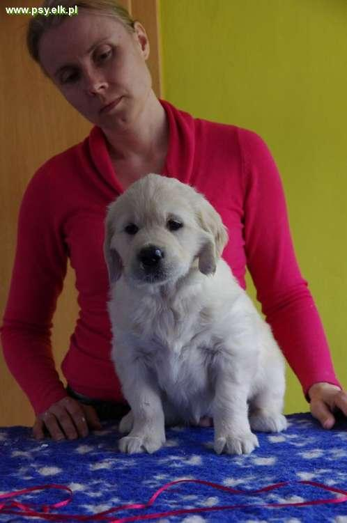 Golden Retriever foreign mating