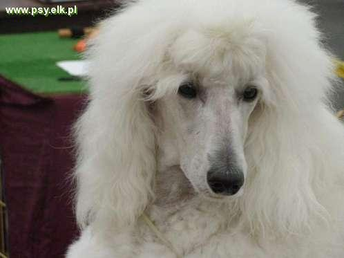 White Standard Poodle FCI puppies for sale
