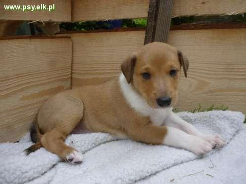 Smooth Collie with pedigree Renebi kennel
