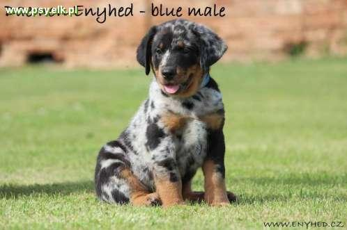 Beauceron amazing puppies - Beauceron