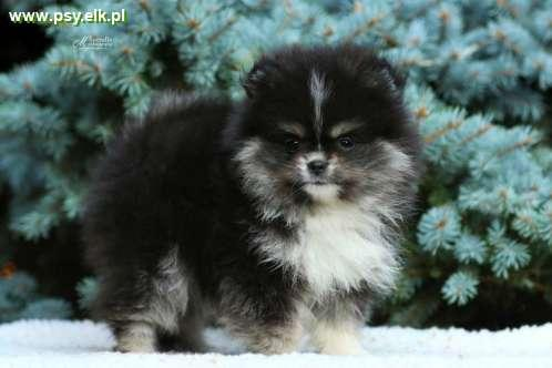 Pomeranian puppies with pedigree