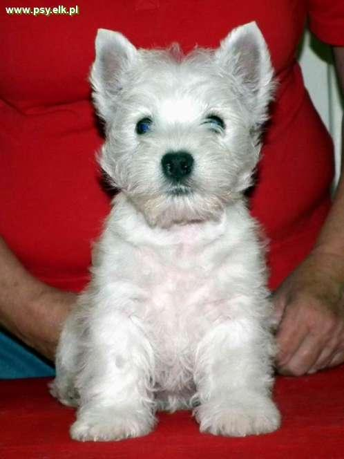 WHWT - West highland white terrier puppies for sale