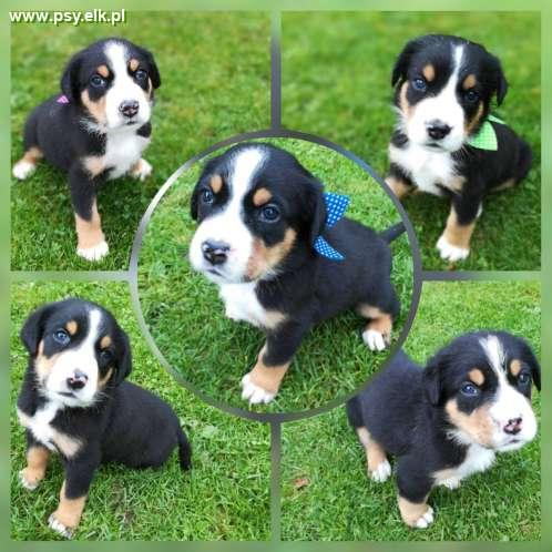 Beautiful puppies with pedigree - Great Swiss mountain dog