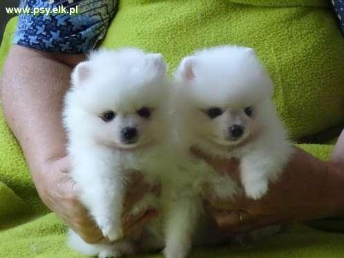 German spitz white color, size dwarf, small and medium
