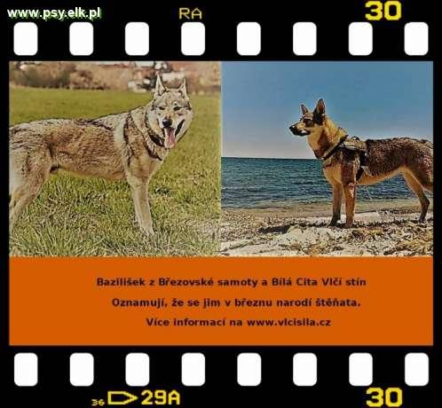 Czechoslovakian Wolfdog – puppies