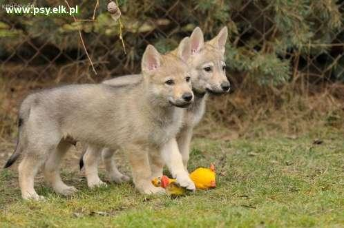 Czechoslovakian Wolfdog - puppies