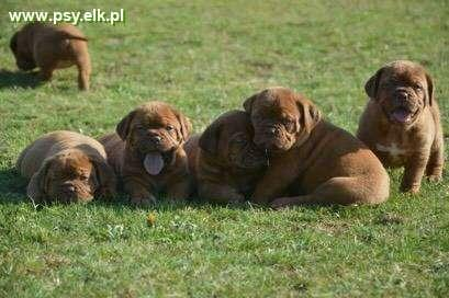 Dog z Bordeaux, Dogue de Bordeaux, French Mastiff