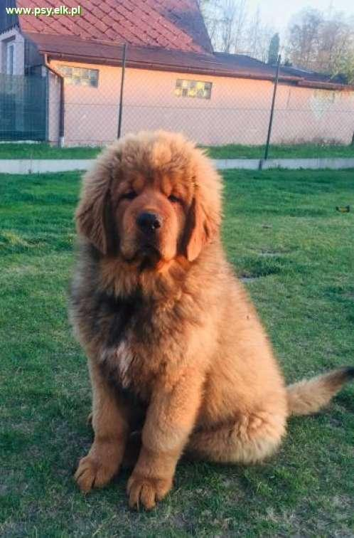 Tibetan mastiff puppies with FCI pedigree