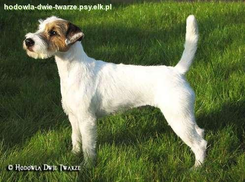 Pies rasy parson russell terrier -
