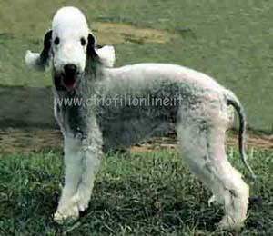 on Psy Rasy Bedlington Terrier